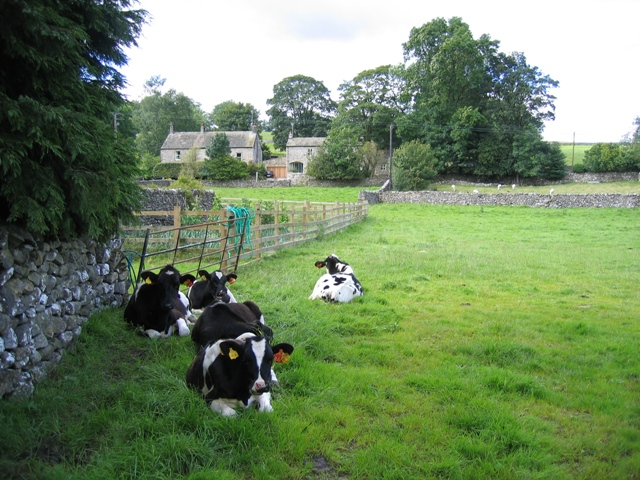 Cattle resting at Kirkby Malham