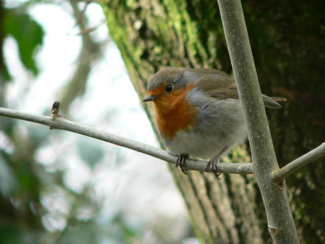 Robin at Decoy Country Park