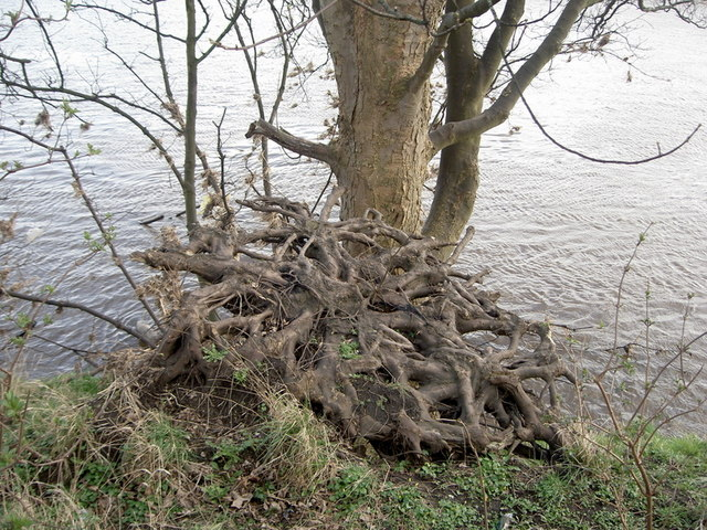 Upturned tree on banks of Ribble