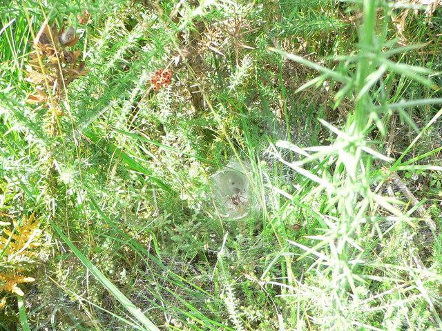 Chudleigh Heath Spider