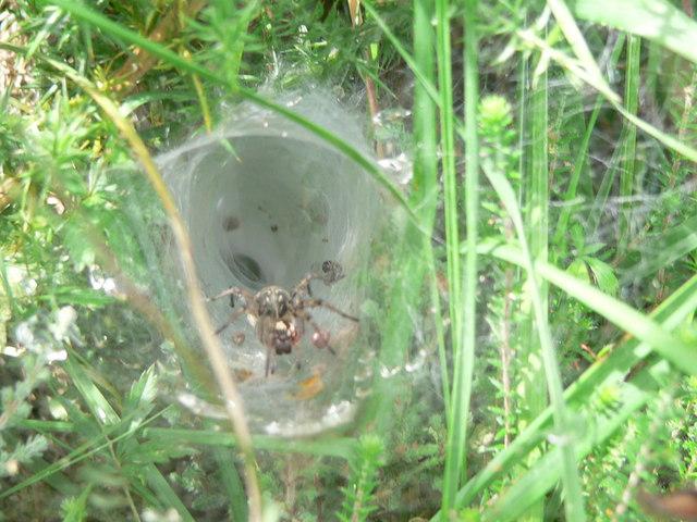 Chudleigh Knighton Heath spider