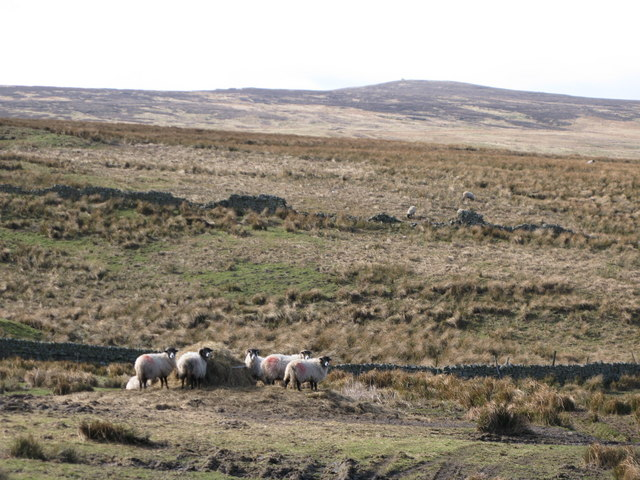 Hungry sheep near Viewly Hall