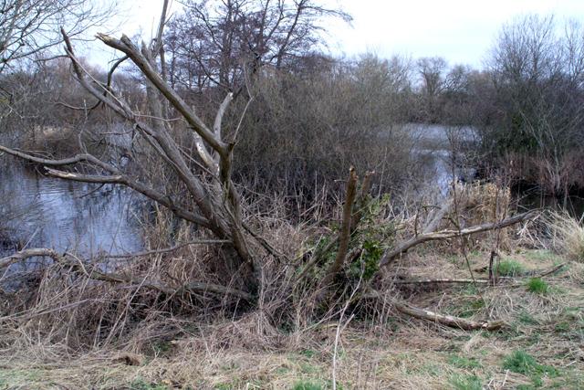 Damaged tree on Beeston Pond, Attenborough