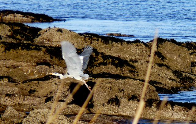 Grey Heron, Balnabruach