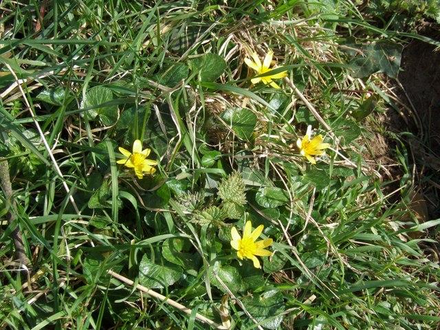 Lesser Celandine, near West Keal