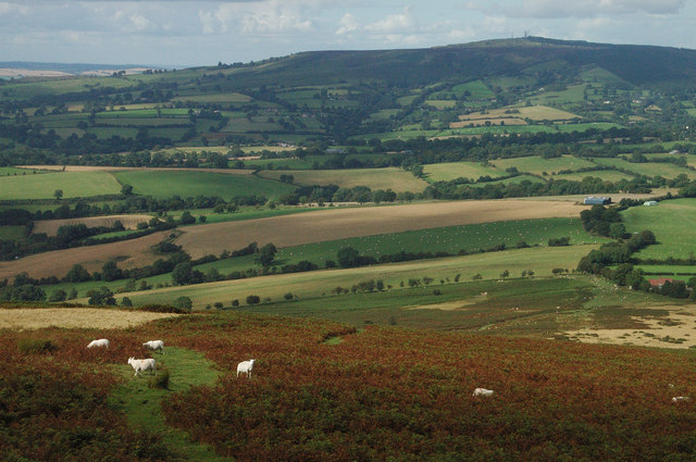 Sheep in the bracken