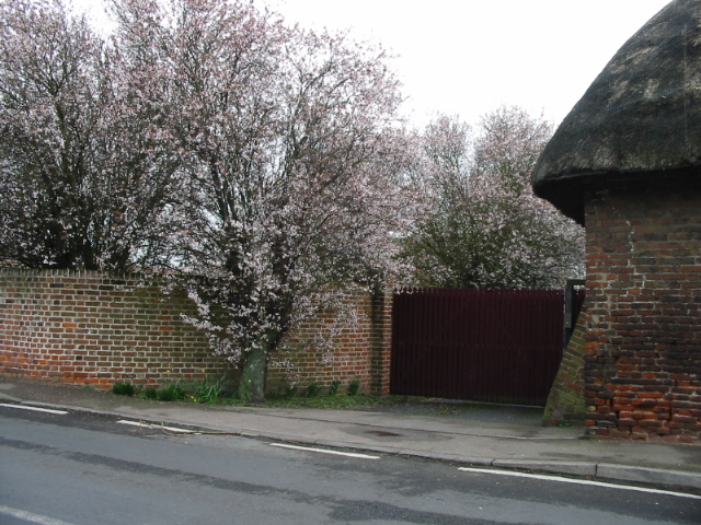 Early blossom on The Street, Acol