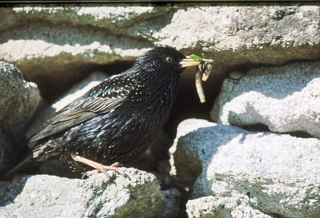 A starling attends its offspring in the depths of a cleit wall