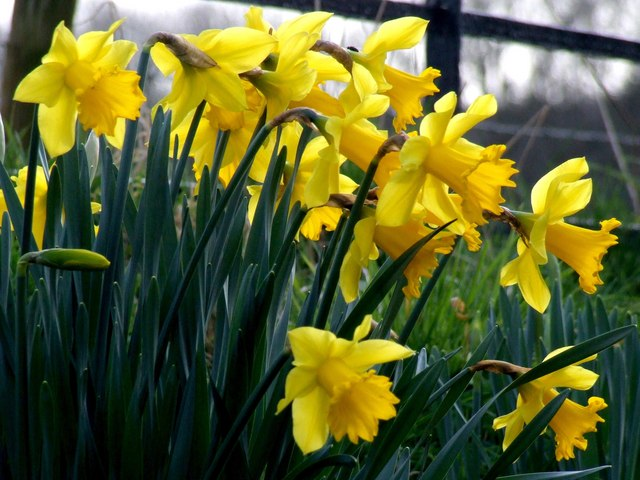 Daffodils at Hareby