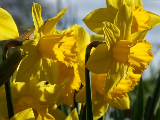 Daffodils at Hareby