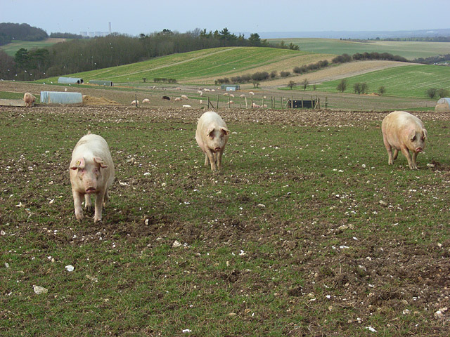 Pigs on the downs, Aston Tirrold
