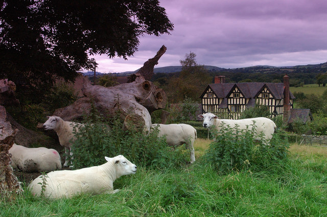 Sheep on the Motte