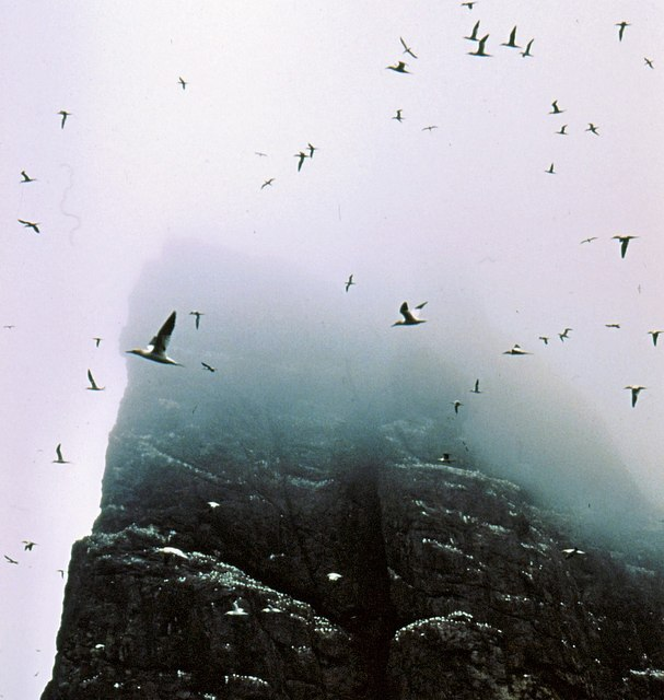 And yet more gannets over Stac an Armin
