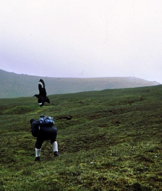 A walker is attacked by a Great Skua in Gleann Mor