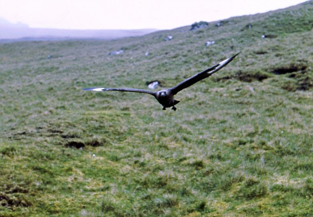 A Great Skua begins its attack in Gleann Mor