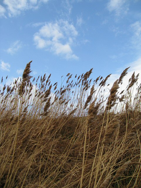 Reed covered sea wall