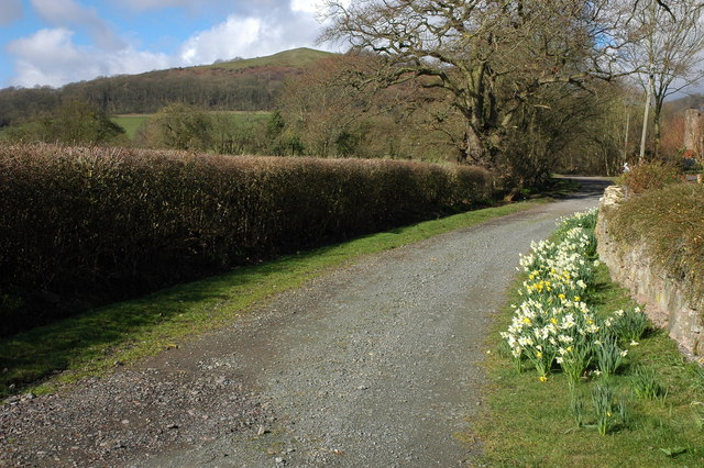 Daffodils on a private road, Hollybush
