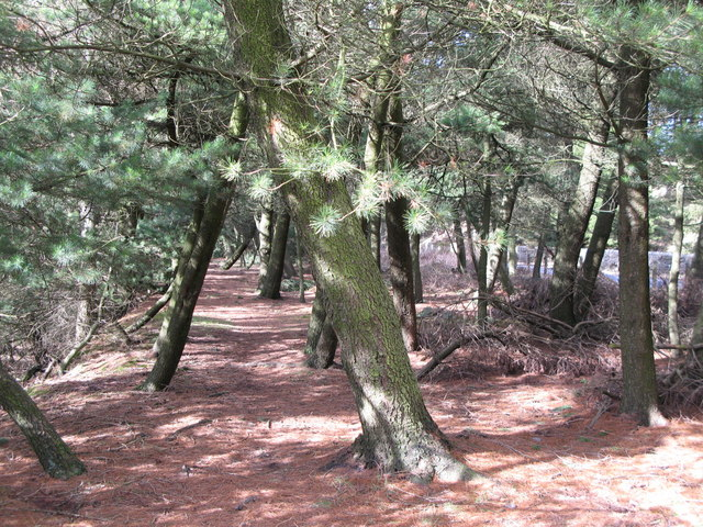 Footpath through the pines (3)