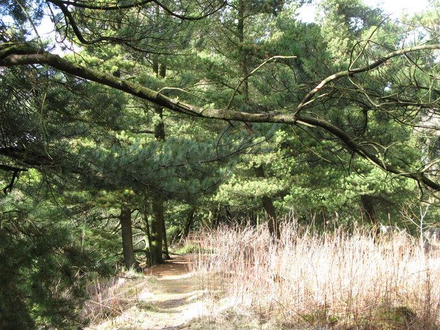 Footpath through the pines (4)