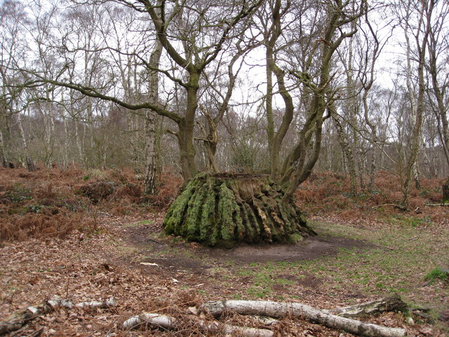 Sherwood Forest - Unusual Tree  Stump