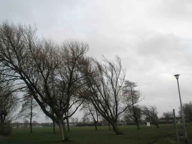 Windswept trees at Alexandra Park