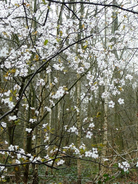 Blossom in the wood