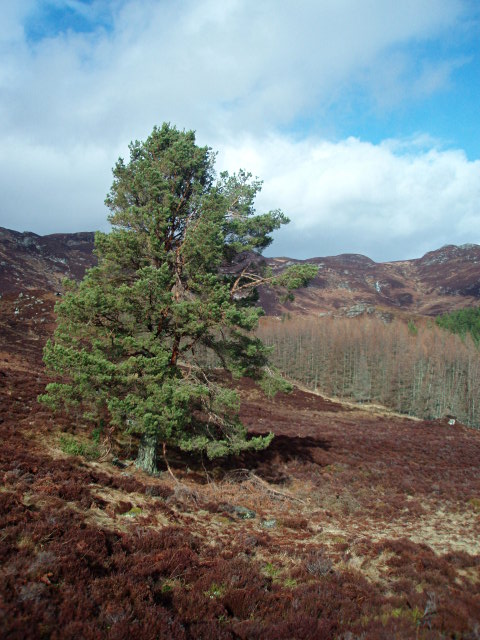 Pine tree and larch plantation above Pitcastle Lochs