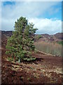 NN8956 : Pine tree and larch plantation above Pitcastle Lochs : Week 10
