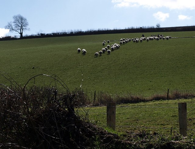 Sheep near Tremaine