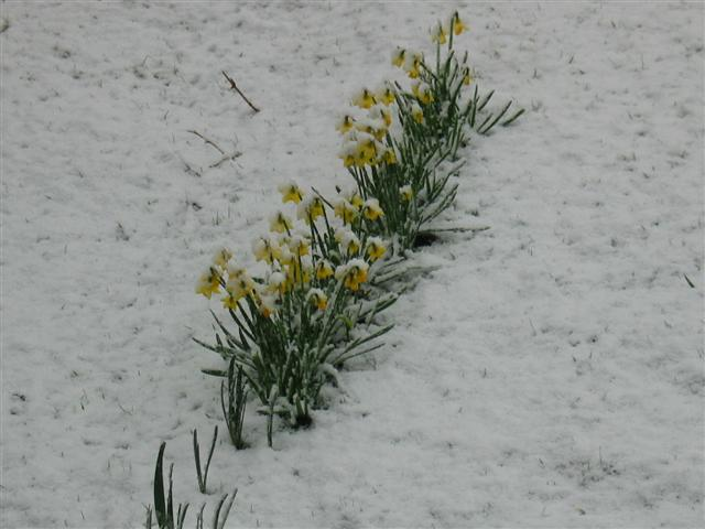 Snow covered spring flowers