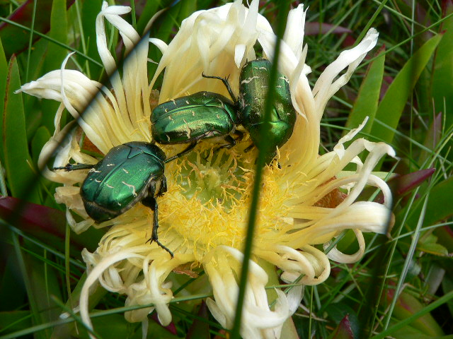 Beetles play on Scilly