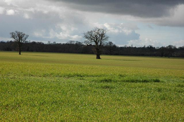 Oak trees in a cereal field, Birtsmorton