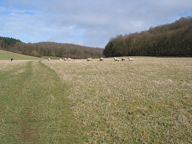 Sheep grazing near Rudge End Farm