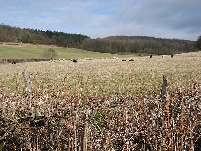 Sheep grazing in the shelter of Haugh Wood