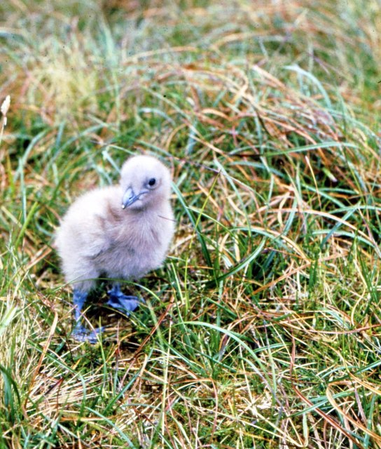 Great Skua chick in Glen Mor