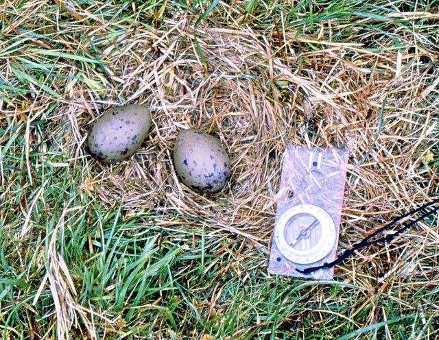 The eggs of the Great Skua in Glen Mor