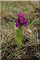 HP6409 : Early Marsh Orchid (Dacylorhiza incarnata) by Mike Pennington