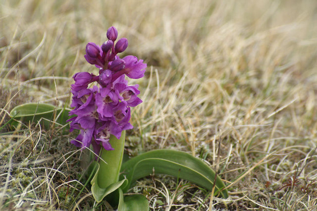 Early Purple Orchid (Orchis mascula), Keen of Hamar
