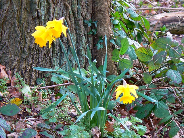 Daffodils, near Coate Water, Swindon