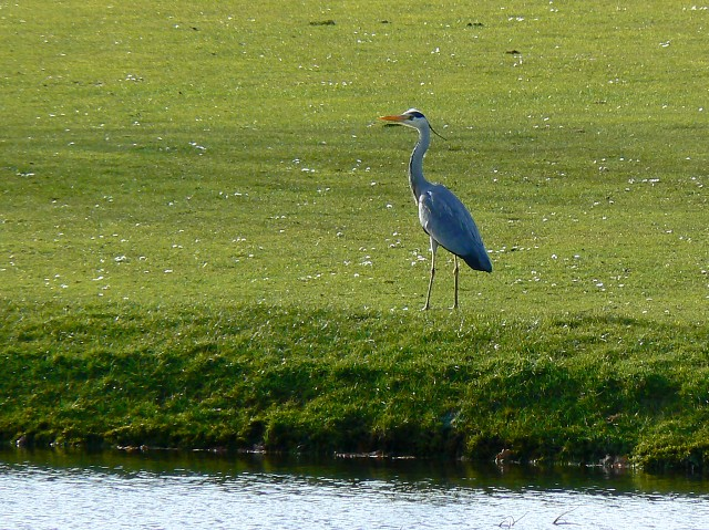 Heron, Broome Manor golf course, Swindon