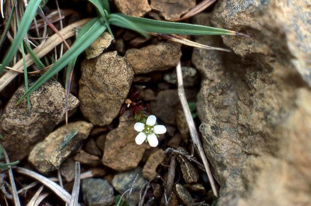 Arctic Sandwort (Arenaria norvegica)