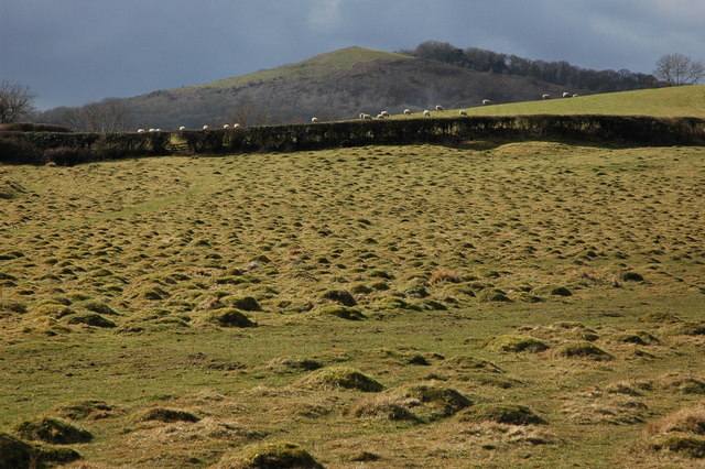 Sheep above Coombegreen Common