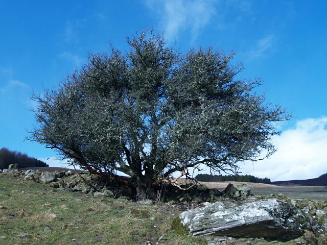 Tree, Brae of Pitcastle