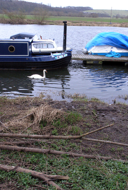 Swan in Beeston Marina