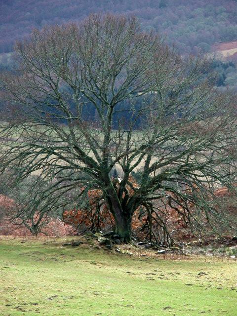 Tree near Middleton