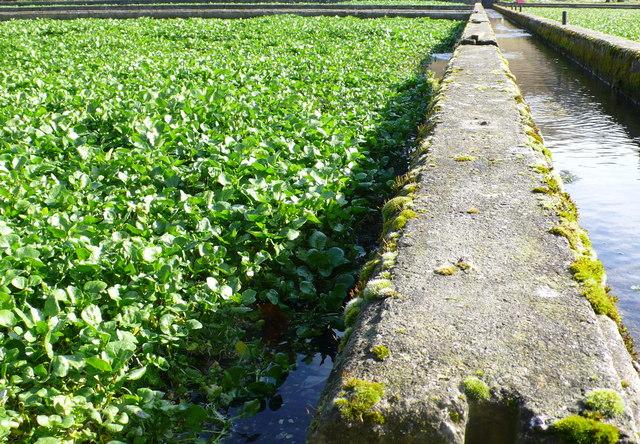 Watercress Beds, Lower Magiston
