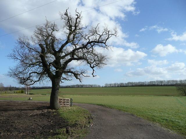 Oak tree at Poke's Hole