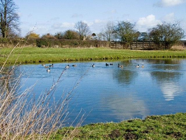 Ducks on Pond at Bossall