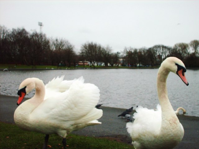 Swans at the Ritchie