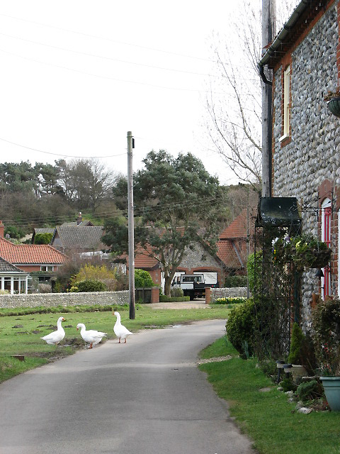 Geese on the road